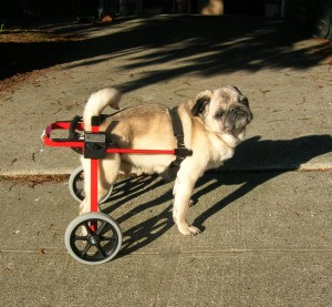 Otis in his wheeled cart
